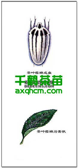 茶叶瘿螨的防治技术_安溪千鹤茶苗繁育场